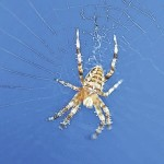 Inside the web: A weekly look at spider species of NEPA