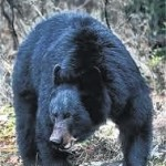 Bear harvest numbers on average pace
