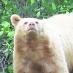 Bloomsburg hunter harvests rare Albino bear