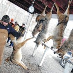 Coyote hunts becoming a tradition