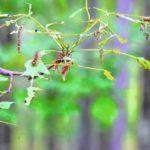 Gypsy moth spraying scheduled for Luzerne County