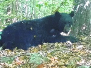 PGC trapping program yields record number of bears this summer