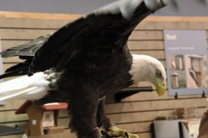Eagles land at Wild Birds Unlimited in Dallas, star in educational program