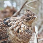 Agencies partner to help grouse, woodcock