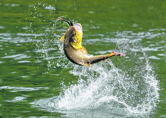 Smallmouth bass thriving in Susquehanna River | Times Leader